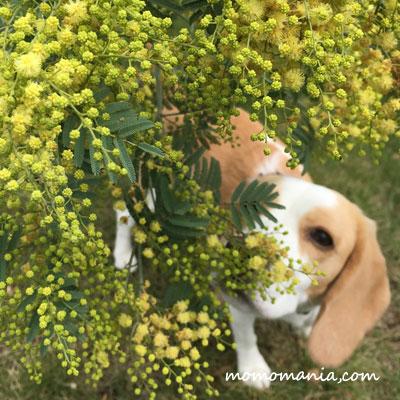 秋咲のミモザ